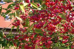 Pfaffenhütchen / Gemeiner Spindelbaum - Euonymus europaeus