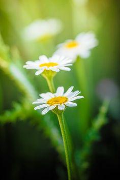 The daisies... by Ramazan KAMARI