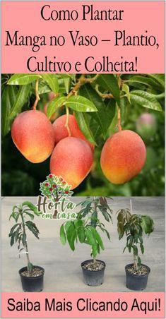 Como Plantar Manga no Vaso – Plantio, Cultivo e Colheita! Fruit Garden, Edible Garden, Tropical Garden, Vegetable Garden, Garden Plants, Plantar Mango, Dwarf Fruit Trees, Plantas Bonsai, Comment Planter