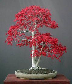 El Arce japonés uno de los bonsáis más cultivados.  - Arbusto de hoja caduca.  - Hojas formadas por cinco lóbulos y con el ápice agudo.  - Famoso por el color que adquieren las hojas en otoño.