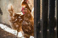 #chicken #gallina #myphotos #diva #farmanimals #granja #gallinero #photography #loveanimals #fotografía
