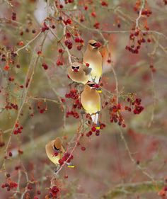 Gallery: Cedar Waxwings | All About Birds --CedarWaxwingsEatingCrabapples-PicbyMarieRead-AllaboutbirdsOrg-11oct2016