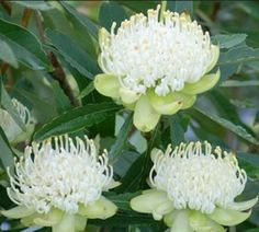 from Gardening with Angus Telopea bridal gown white waratah. from Gardening with Angus Australian Wildflowers, Australian Native Flowers, Australian Plants, Australian Bush, Rare Flowers, White Flowers, Beautiful Flowers, Bush Garden, Moon Garden