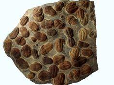 A wall of Trilobites, Atlas Mountains, Morocco