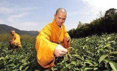 """Expertos monjes budistas seleccionando las hojas de té para hacer """"Té Verde Templo del Cielo"""""""