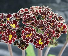 """Razzmatazz' Primrose  It features dark burgundy red double flowers highlighted by yellow centers and crisp white edges.  Name: Primula 'Razzmatazz'  Growing conditions: Shade and moist, well-drained soil  Size: To 10"""" tall and 8"""" wide  Zones: 6-8  Grow it with: Japanese painted fern, which creates a stunning contrast with its burgundy-flushed silvery foliage  Source: heronswood.com"""