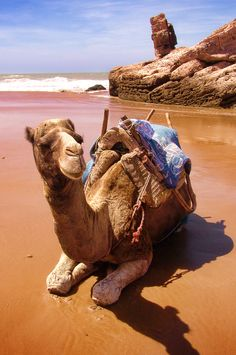 Beach camels, an integral part of beach life in Essaouira! This camel is taking a break in front of the ruins of Bordj El Berod.