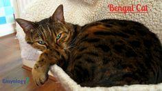 Bengal #cat! @easyologypets