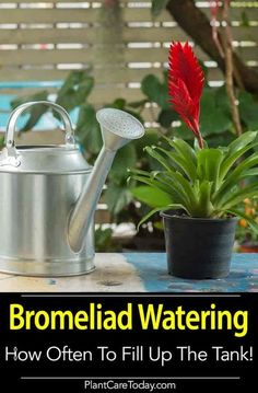 Tips on Bromeliad watering - People always ask how to water colorful, long lasting (3 -4 months) plants and they make great gifts.