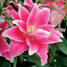 100 pcs/bag perfume lily seeds (not lily bulbs) bonsai flower seeds potted pcs/bag perfume lily seeds (not lily bulbs) bonsai flower seeds potted plant lilium flower for home garden easy grow How to Care for Potted Plants. Growing Lilies, How To Grow Lilies, Daylily Garden, Lily Bulbs, Oriental Lily, Asiatic Lilies, Spring Plants, Pink Lily, Day Lilies