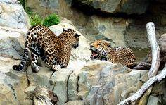mz-6 Milwaukee Zoo, Jaguar Animal, Animal Categories, Backgrounds, Animals, Background Pics, Animais, Animales, Animaux