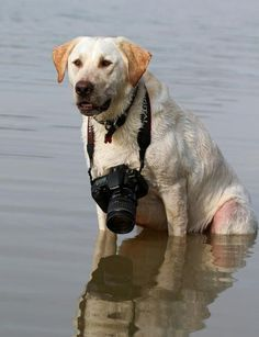 Labrador Photographer by Scott Cromwell Cool Pets, Cute Dogs, Golden Labrador, Animal Help, Training Collar, Dogs Of The World, Dog Care, Large Dogs, Artist At Work