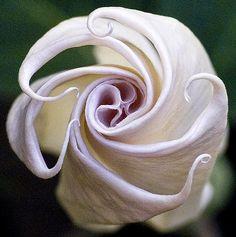 Angel Trumpet Blooms