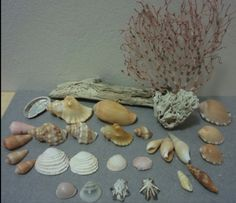 Buy Sea Shells & rare sea grass from Jeffreys Bay (cleaned handpicked) for Sea Shells, Grass, Cleaning, Display, Food, Floor Space, Billboard, Seashells, Grasses
