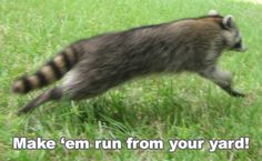 Raccoon Prevention - How to Keep Raccoons Away Garden Pests, Garden Pond, Raccoon Repellent, Getting Rid Of Raccoons, Oils For Life, Fluffy Cows, Crochet Edging Patterns, Ponds Backyard, Fruit Trees
