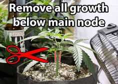 Main-Lining  Tutorial by Nugbuckets Train Marijuana Plants for Bigger Yields u0026 Flat Canopies & This micro marijuana plant was started as a clone and was forced to ...