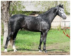 Orlov stallion
