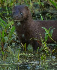 This is a Mink!~  Our dog had one of these screaming on top of our fence one night.  We had no idea what it was.  Very loud screamer!