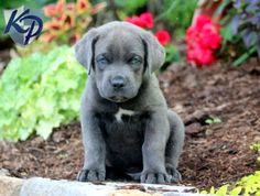 Gunther – Cane Corso Puppy www.keystonepuppies.com #keystonepuppies #canecorso