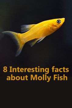 Today, Mollies are extremely popular fish to be kept in the community of an artificial aquarium, all around the globe. Tropical Freshwater Fish, Tropical Fish Tanks, Freshwater Aquarium Fish, Tropical Fish Aquarium, Fish Ocean, Aquarium Pump, Saltwater Aquarium Fish, Jellyfish Aquarium, Betta Aquarium
