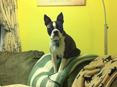 Boston Terriers make great gargoyles.