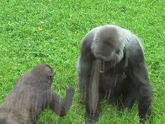 The cute baby Gorilla annoys its mum.