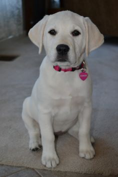 Sweet Little Piper-white labrador