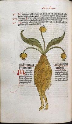 Mandragora, 1485, Peter Schöffer, Gart der Gesundheit, Mainz, The University of Manchester Library, U.K. Incunable 16032, Alraun Fraw]