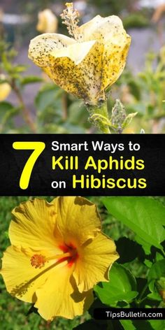 Learn how to get rid of aphids on hibiscus plants using dish soap and ladybugs. Our guide shows you the best ways to kill aphids on houseplants so you don't have to deal with aphid honeydew on your windows. We give you pest control tips for your hibiscus. Growing Hibiscus, Hibiscus Plant, Hibiscus Flowers, Exotic Flowers, Hawaiian Flowers, Cactus Flower, Purple Flowers, Hawaiian Plants, Lilies Flowers