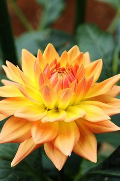 Decorative Dahlia 'Old Gold'