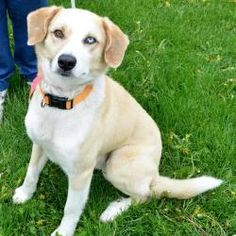 Landon is an adoptable Dog in Garfield Heights, OH. Landon is a handsome 2-3 year-old Husky/Lab mix male with one sparkling blue eye. He's much smaller than either of those breeds and only weigh...