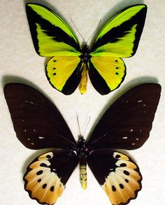Google Image Result for http://www.butterfly-designs.com/butterflies/images/ogoliathuspair2.jpg