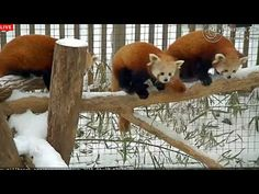 These baby red pandas are so excited to frolic in the snow (video)