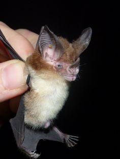 The white-bellied big-eared bat (Micronycteris minuta) is a bat species from…