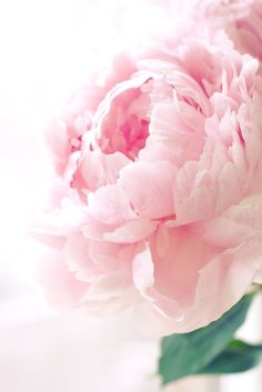 Zsazsa Bellagio Pale Pink Peony Is There Any Bloom More Always Reminds Me Of A Ruffled Cabbage Rose