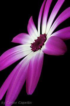 Stunning Pink & White Pericallis Flower