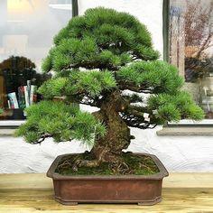 Newest arrival at our nursery (Taki Bonsai). Bonsai Plants, Bonsai Garden, Garden Trees, Bonsai Styles, Miniature Trees, Greenhouse Gardening, Small Trees, Tree Designs, Live Plants