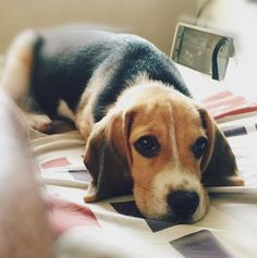 Who can resist this lovely sight? : beagle
