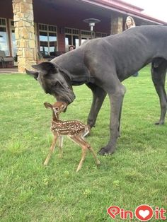 acv/ A Great Dane who is friends with a fawn. | 50 Animal Pictures You Need To See Before You Die