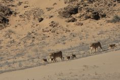 Desert-adapted lions near Hoanib Skeleton Coast © Dr Flip Stander #Palmwag #Namibia #conservation