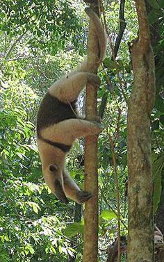 A Northern Tamandua anteater (Tamandua mexicana), Costa Rica Rare Animals, Funny Animals, Wild Animals, Giant Anteater, Corcovado National Park, Costa Rica, Interesting Animals, Animal Magic, Tropical Forest