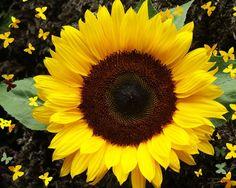 sunflower my-favorite-things