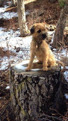Jack The Border Terrier on the stump.