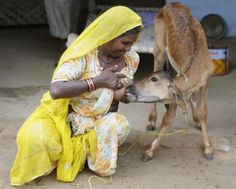 Chouthi Bai breastfeeds her twenty-day-old pet calf in her residence at Kilchu village, near Bikaner, in the desert Indian state of Rajasthan August 21, 2010. Bai has become an attraction in Kilchu village and receives many visitors curious to see her caring for her pet.   REUTERS/Vinay Joshi
