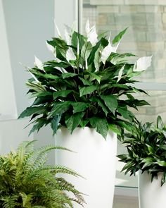 peace lily spathiphyllum green foliage plants leaves big plants cute pots for pl Big Plants, Green Plants, Tropical Plants, Indoor Plants, Most Beautiful Gardens, Beautiful Flowers, Lilly Plants, Fern Planters, Peace Lily Plant