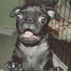 Little pug is shocked at your behavior