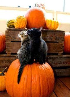 Kittens & Pumpkins / Halloween is looking Cute! /