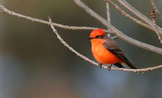 Vermilion Flycatcher by Andrew Johnson http://focusingonwildlife.com/news/wildfocus/featured/31811696681_9fcaa46cf2_o/