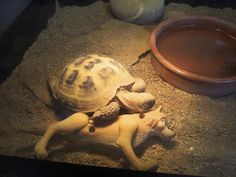 My Pet Tortoise wont sleep without his happy meal toy, If i take it out he'll search around his tank until he finds it - Imgur