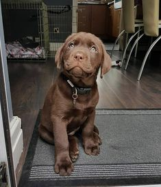 Hearing Dog puppy